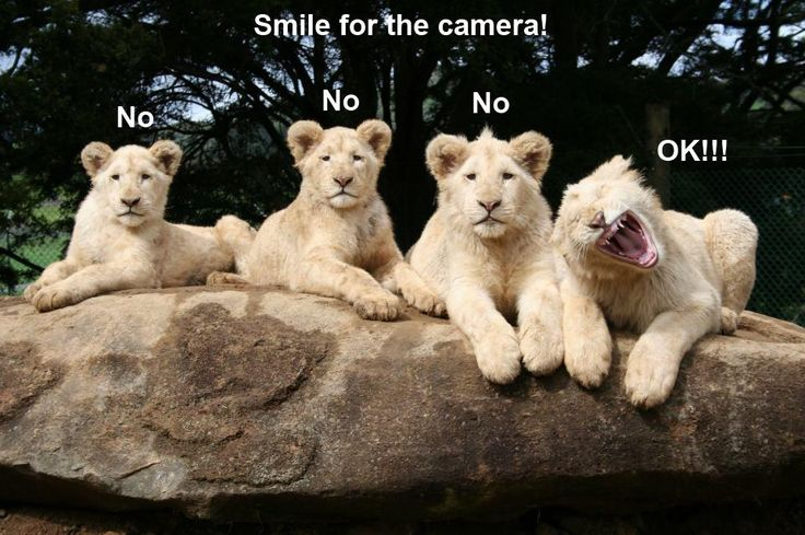 smiling lions