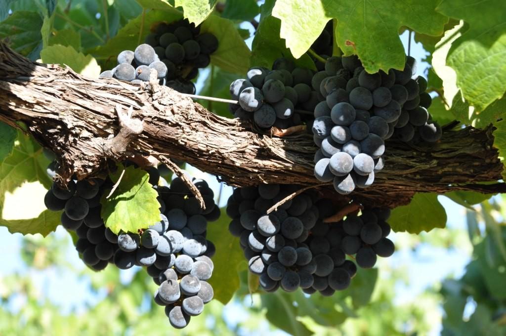 Touriga National wine